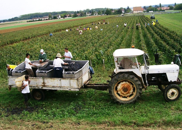 Vintage-grape-harvest-in-Burgundy